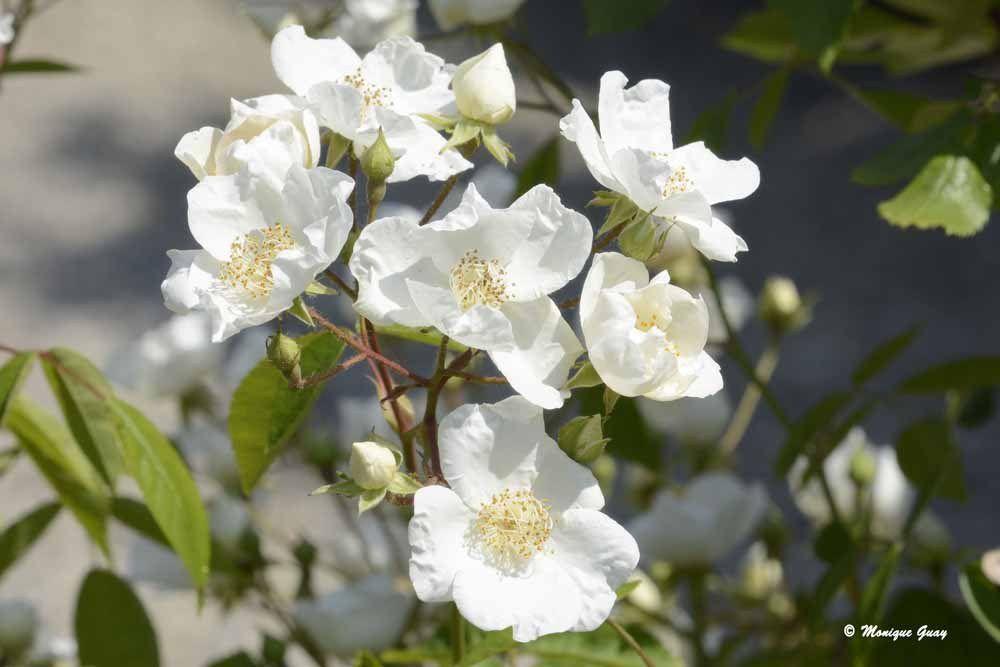 Le blanc des roses