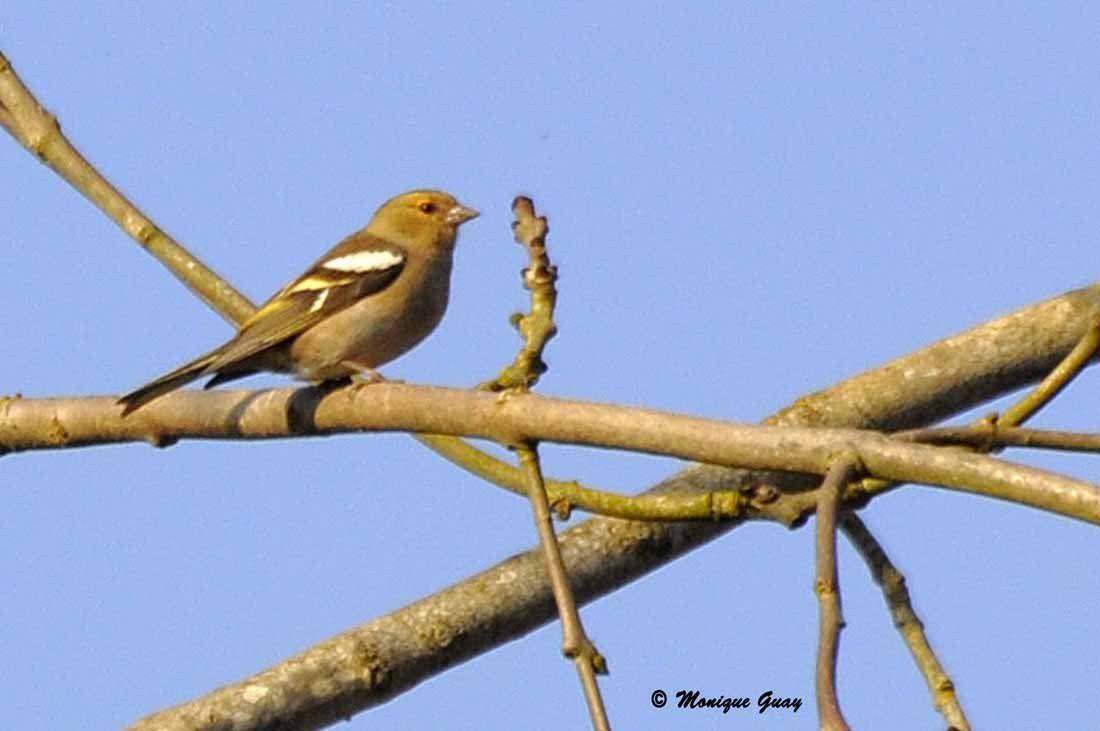 Pinson des arbres: femelle et mâle