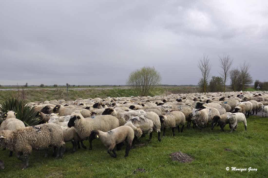 Les moutons passent tout près de moi. Un moment privilégié.