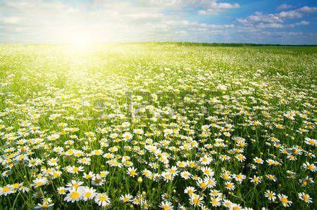 Soyez les marguerites de Mon Sacré-Coeur qui poussent chaque jour en union avec Moi.