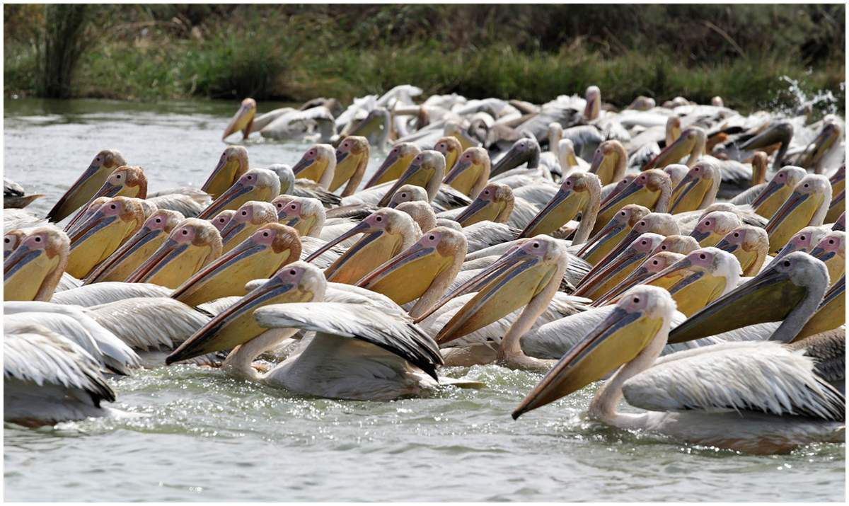 Le pélican peut avoir une envergure de prés de 3m et son poids atteindre 10kg.Ils pêchent collectivement en demi-cercle de manière à rabattre les  poissons vers le centre de la formation .Il utilise sa poche gulaire d'une contenance de 10 litres à la manière d'une épuisette .Ils se nourrissent essentiellement de poissons et en consomment environ 3 kg par jour .