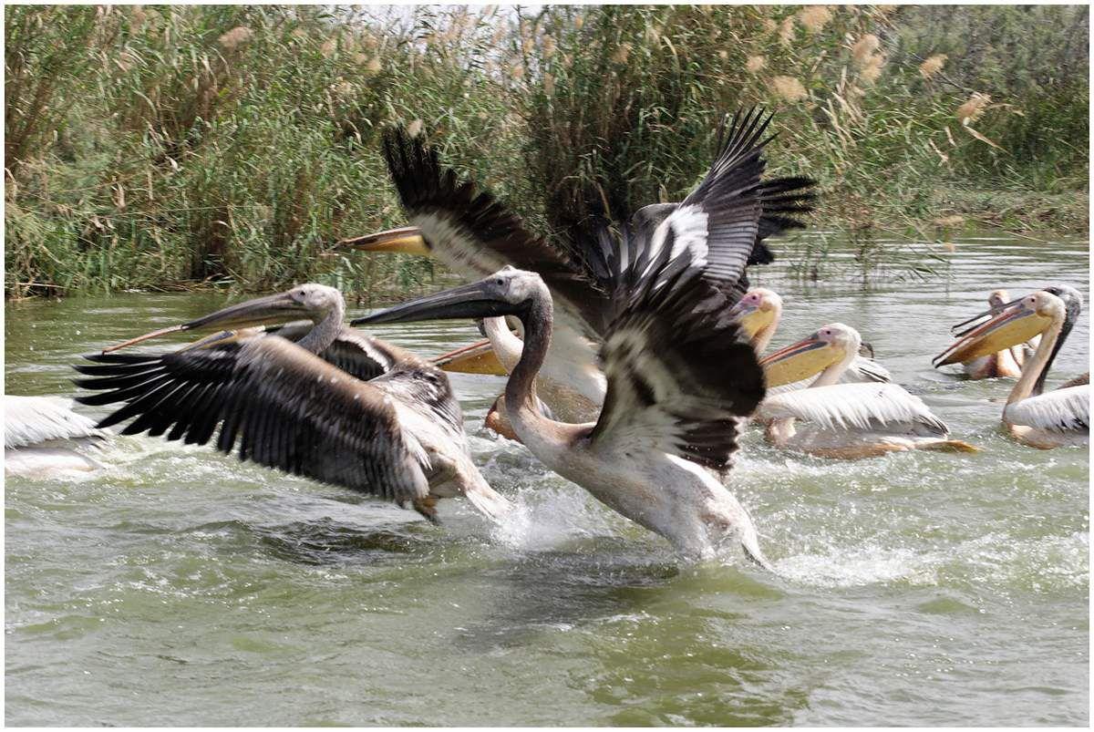 Figurant parmi les plus grands oiseaux du monde , il court à la surface de l'eau pour prendre son envol .