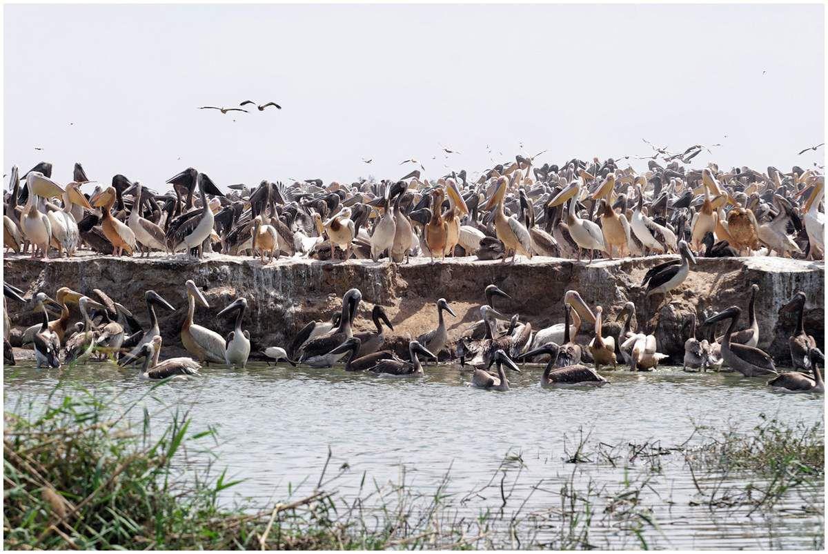 Les jeunes pélicans sont bruns , le plumage blanc-rosé ne leur vient qu'à l'âge de 2 ans . Dès qu'ils ont 2 mois 1/2 ils savent voler et se joignent à la troupe des adultes