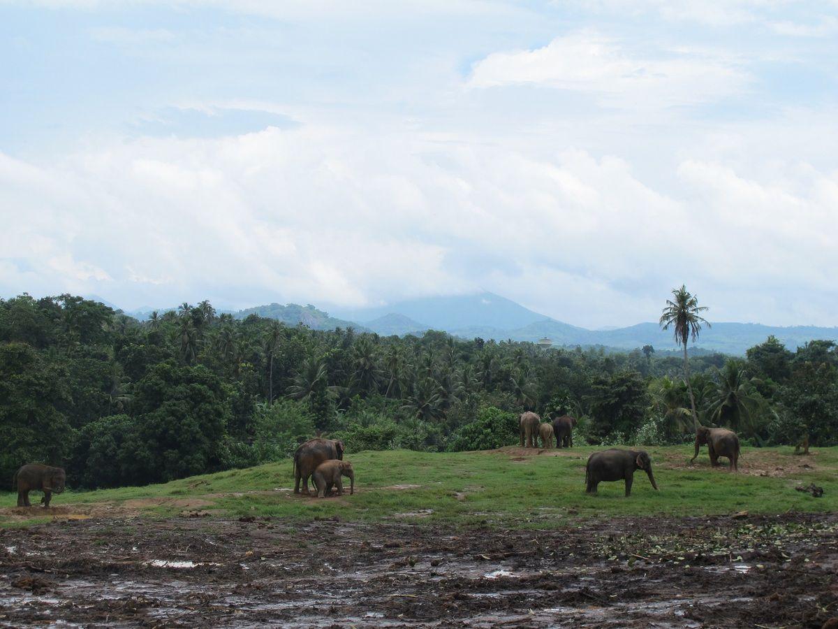 Un arrêt à l'orphelinat des éléphants de Pinnawala