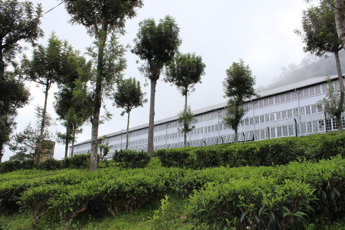 une usine de thé