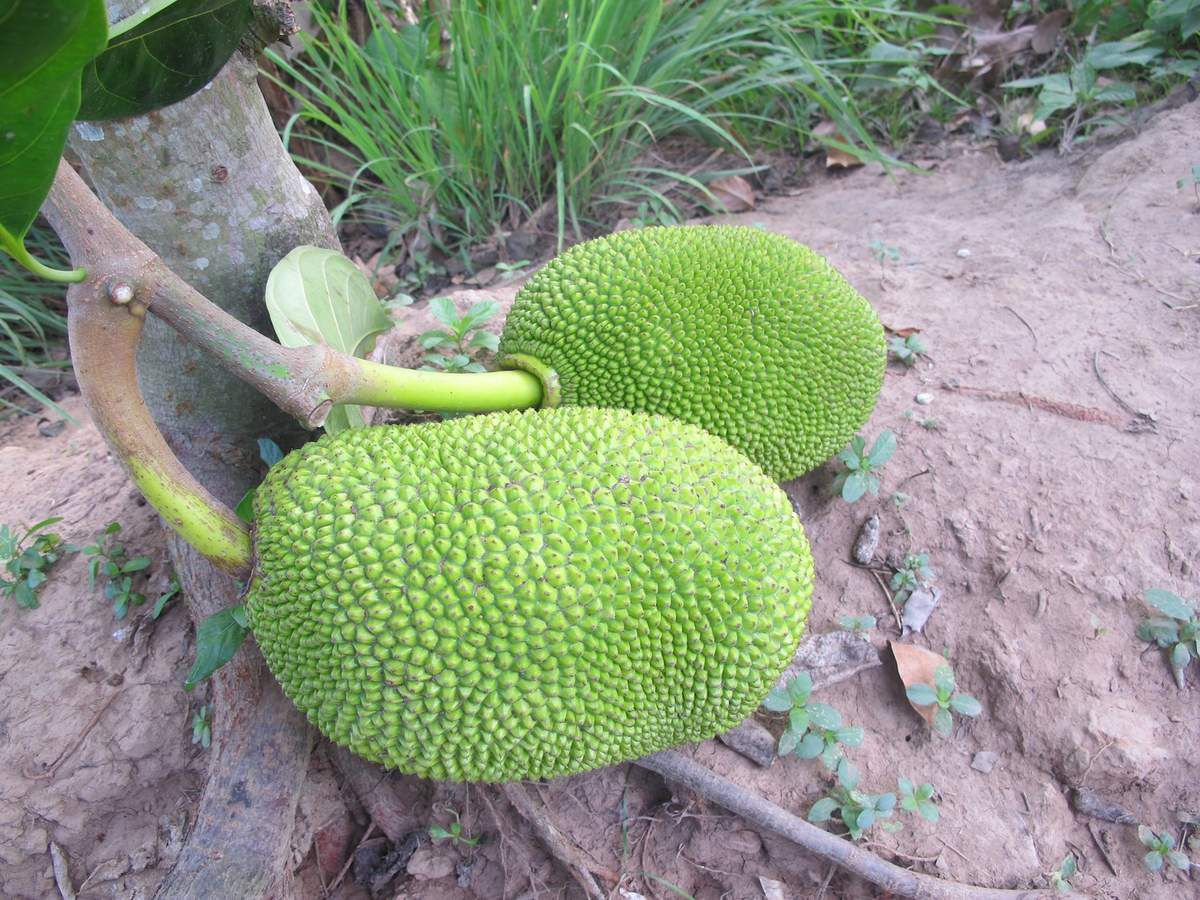 fruit du jacquier (jackfruit)