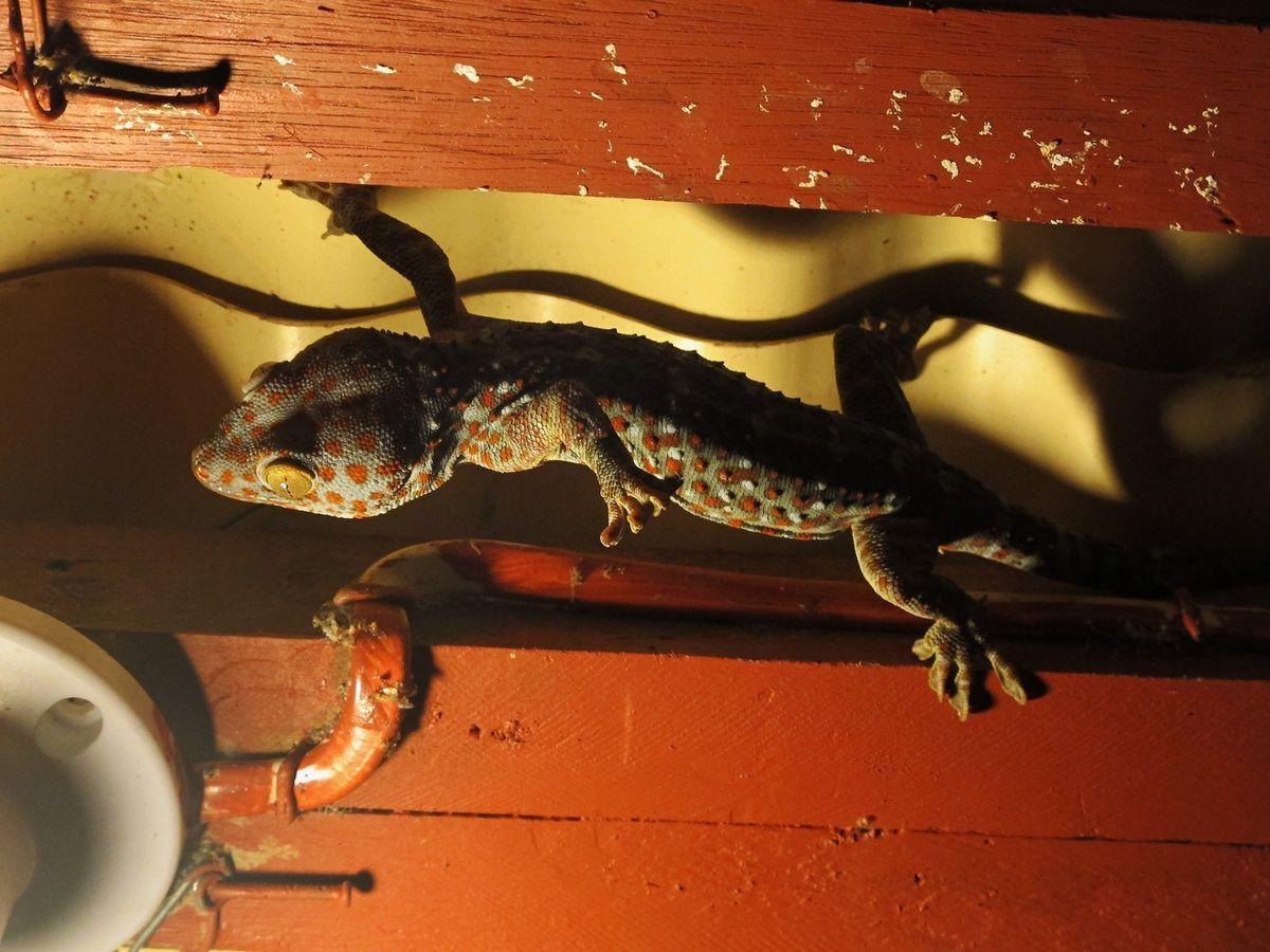 pas besoin de pschitt anti-moustique, le gecko équilibriste est un moskito killer