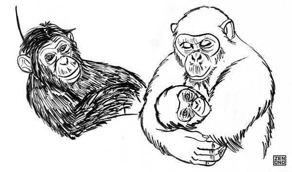 Chimpanzés à la demande !!