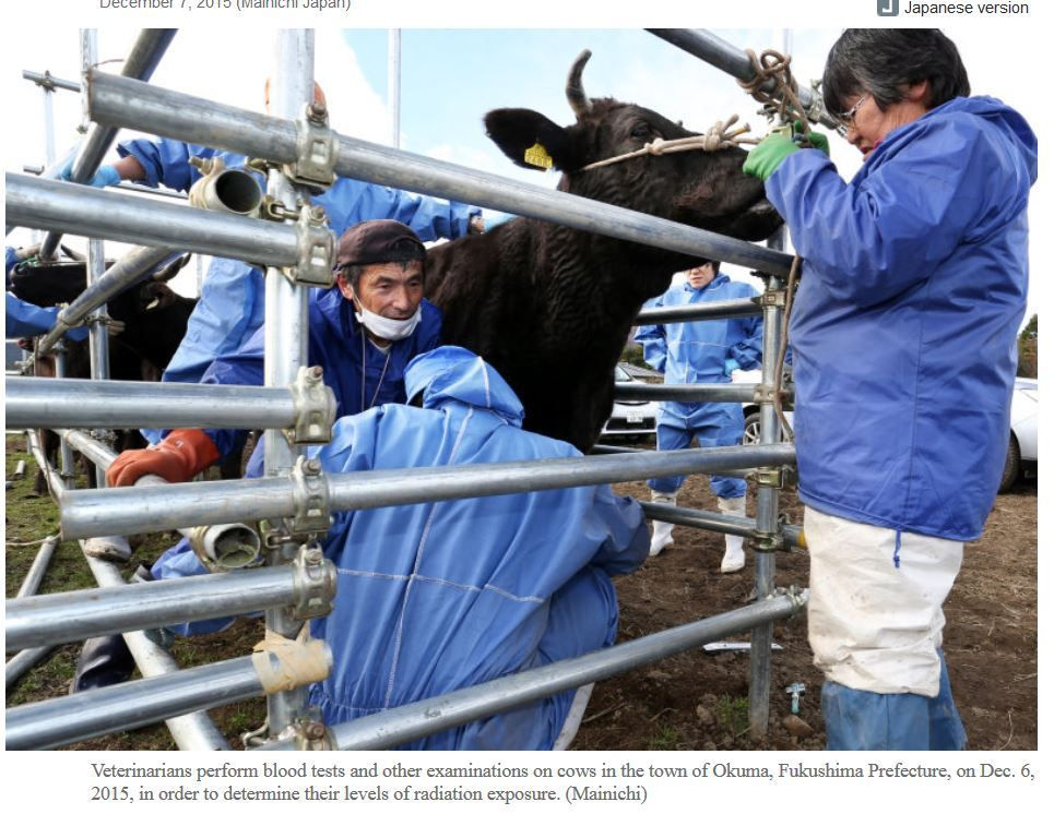 Cows in difficult-to-return zones