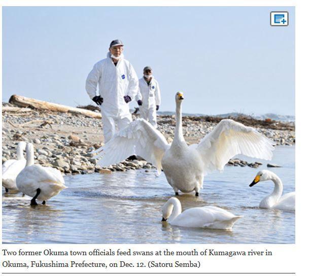 Swans back in Fukushima