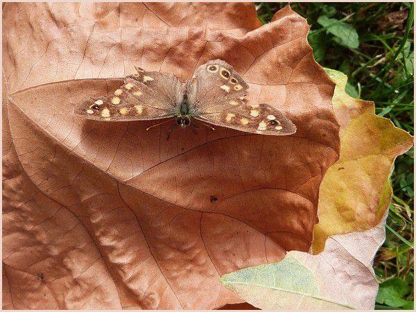 Le Tircis - Papillon. (2)