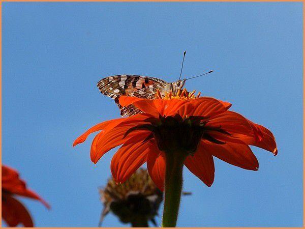 La Belle Dame - Papillon.