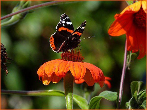 Le Vulcain - Papillon.
