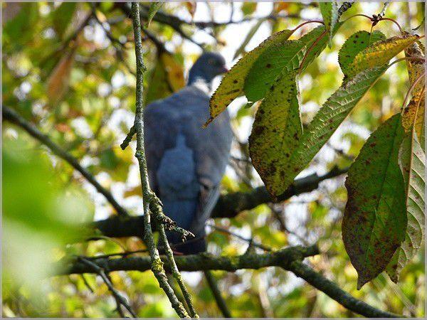 Pigeon ramier juvénile.
