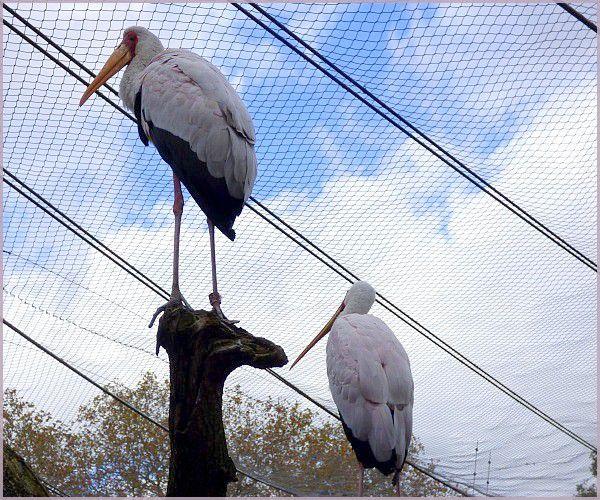 Tantale Ibis.