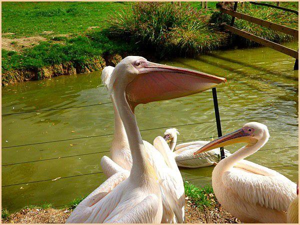 Le Pélican blanc.