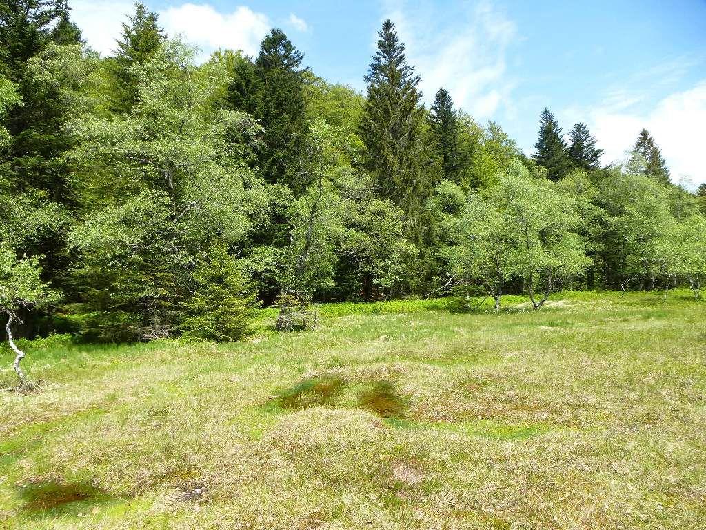 Tout autour de la tourbière, trône une sublime forêt d'altitude mixte.