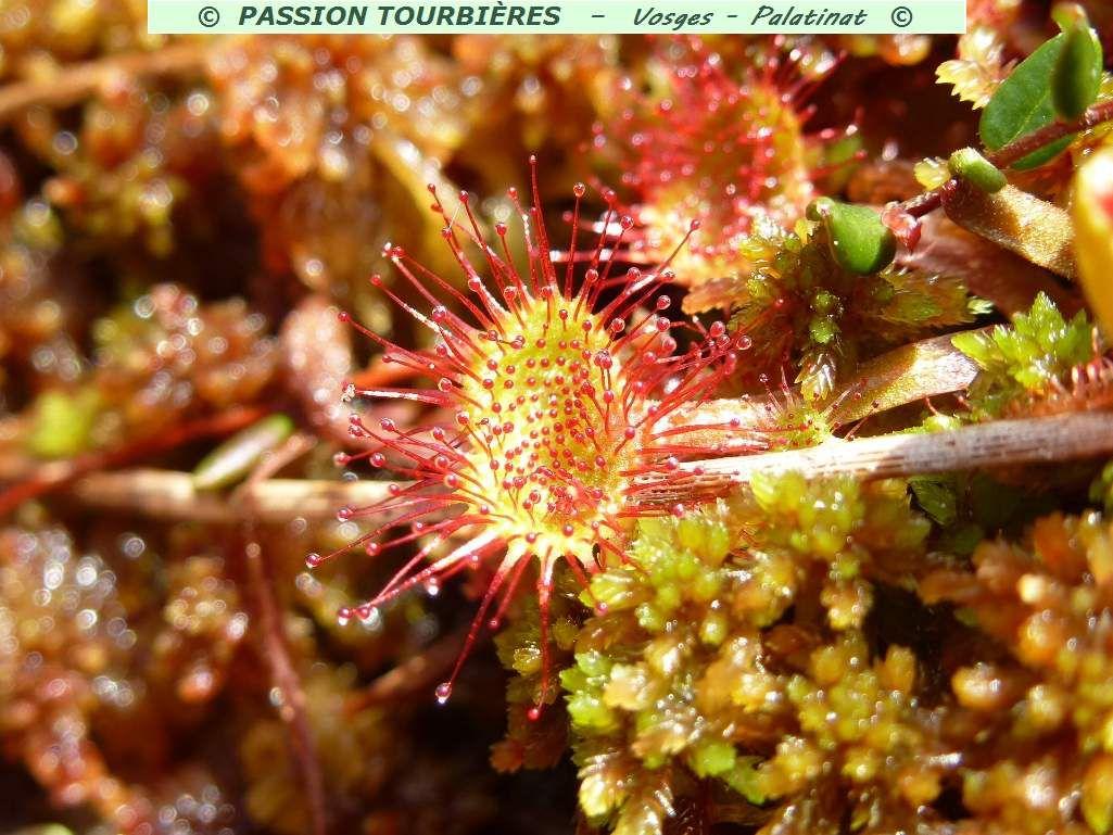 Drosera Rotundifolia, mai 2014. Copyrighted by www.vosges-palatinat.com.