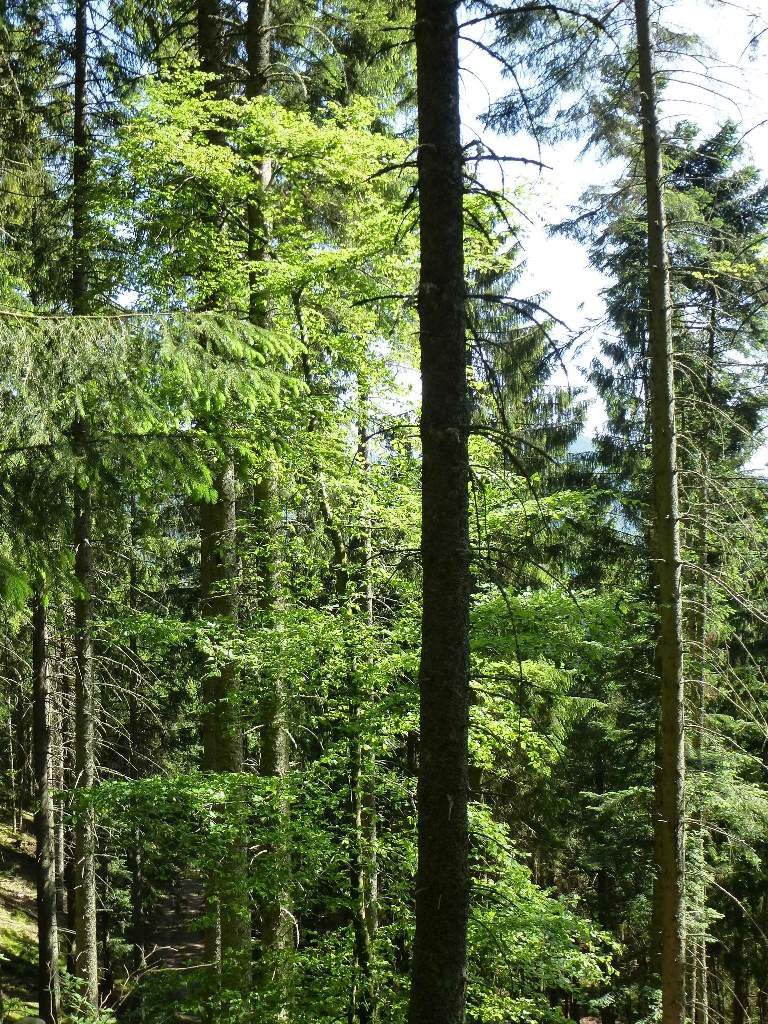 Étang du Devin : magnifique forêt mixte (mi-feuillue, mi-résineuse).