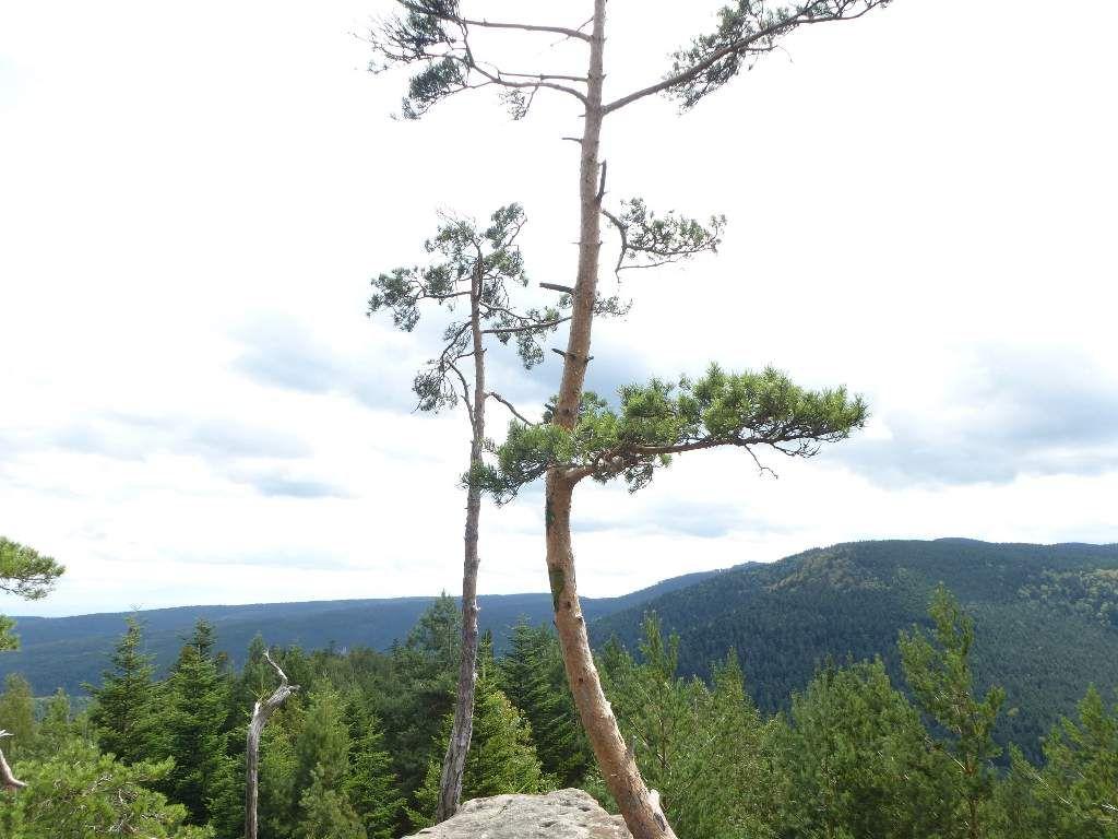 À droite de ces pins, trône le puissant massif du Schneeberg (alt. maxi : 961 m) ...
