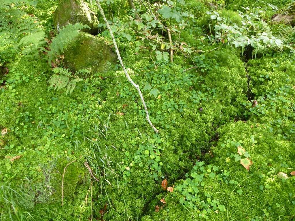 Là, les trèfles se trouvent sur d'épaisses mousses humides, au ton vert très intense.