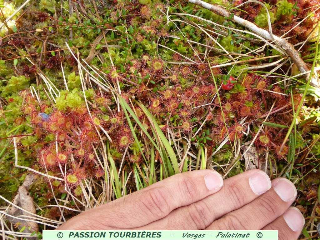 J'arrive enfin à mettre au jour, les fameuses plantes carnivores : les incroyables droséras rondes !