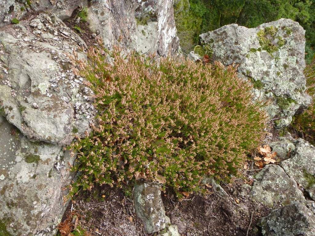 Les callunes vulgaires sont très localisées, au sommet du Schieferberg.