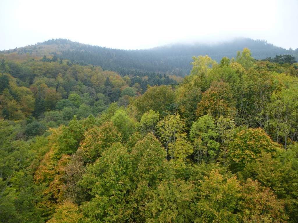 Vue, vers les hauteurs embrumées, du Baerenberg (alt. maxi : 969 m).
