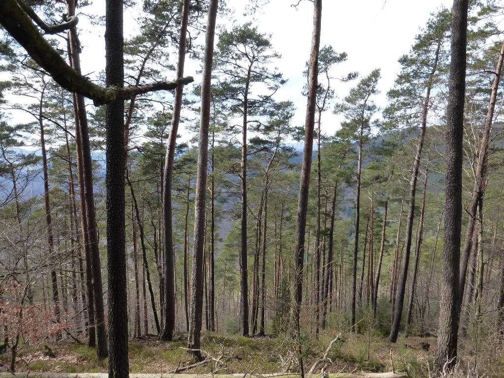 Les pentes du Steinkopf, entièrement boisées, se montrent excessivement raides ...