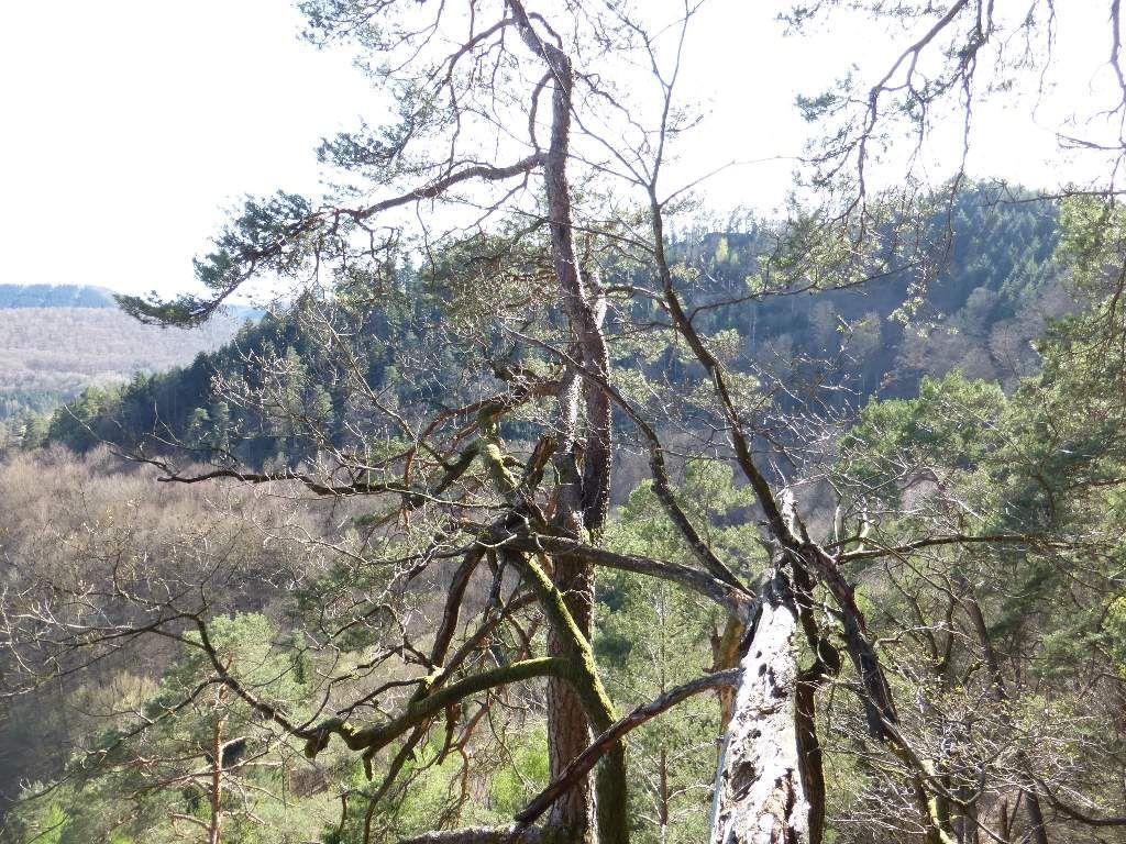 La forêt est à dominantes très largement résineuses, sur le site de l'Arnsbergfels.