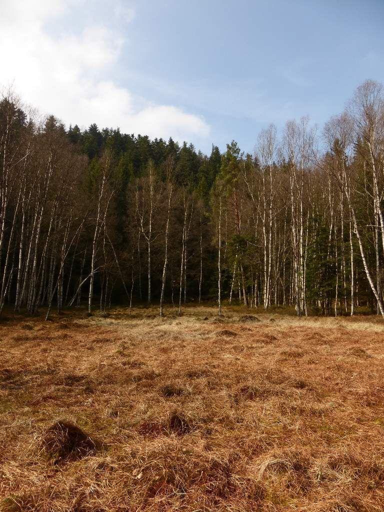 La belle et sauvage tourbière forestière du Grafenweiher, encore bien endormie ...