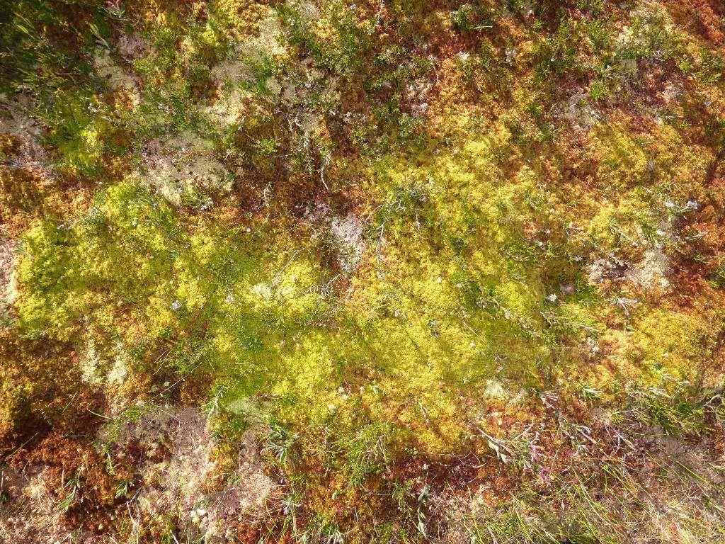 L'astre solaire, rasant, donne de très jolies couleurs, à ces mousses ...