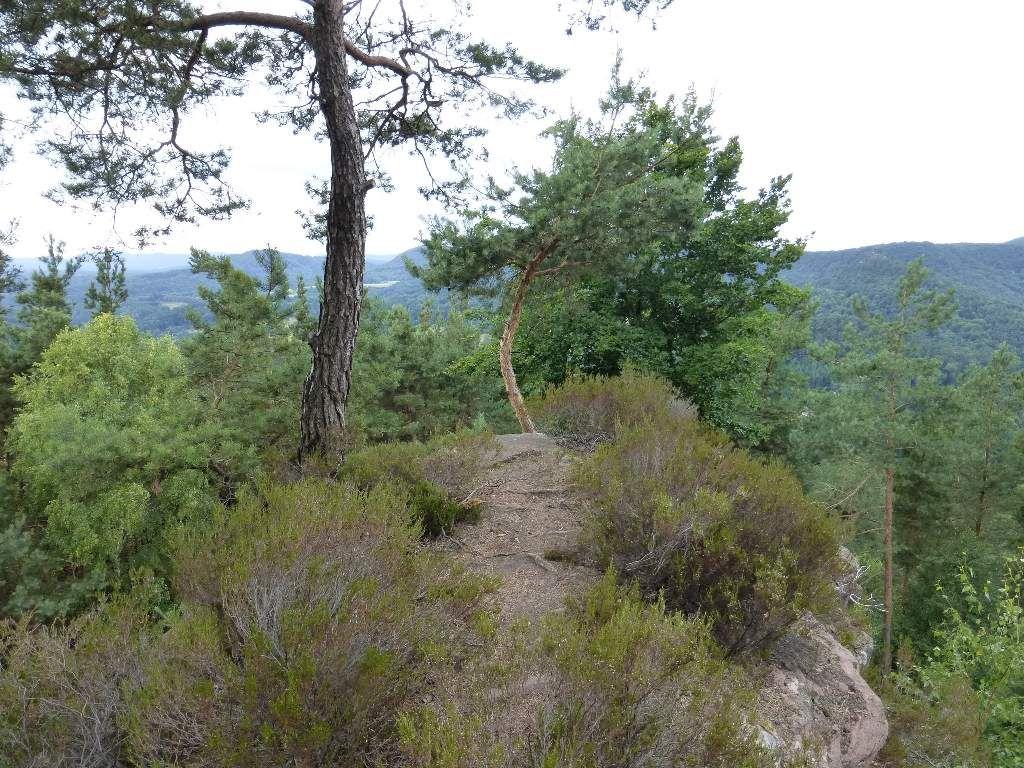 La pinède sur dalle du Häuselstein, arbore des dimensions très modestes.
