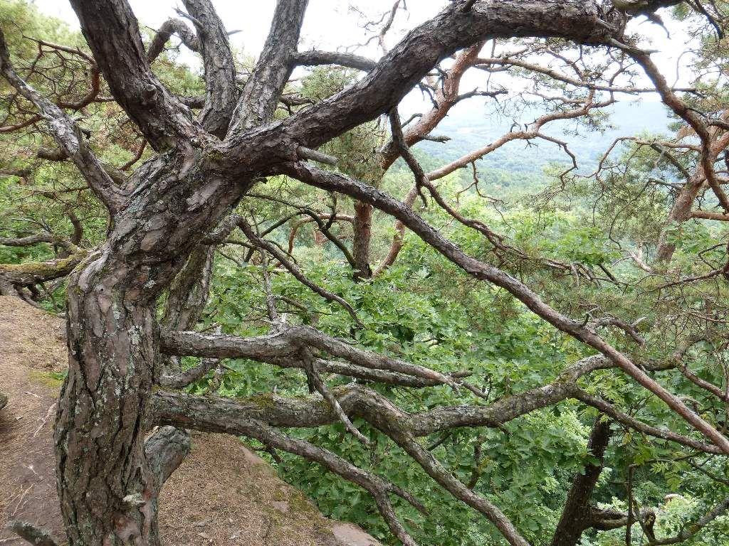 Les arbres torsadés sont légion, sur la crête sommitale des Kieungerfelsen.