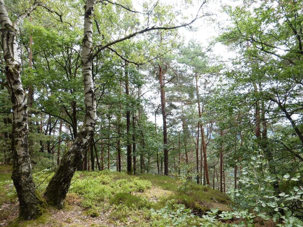 La forêt est à dominantes résineuses, sur le plateau sommital des Kühhungerfelsen.