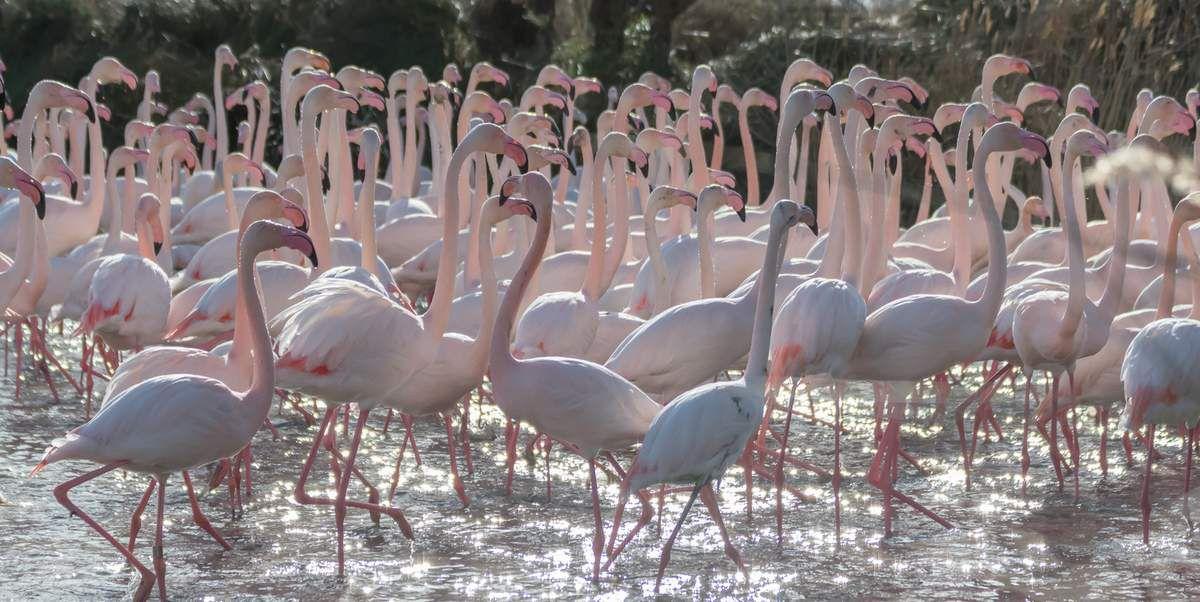 Les Flamants rose