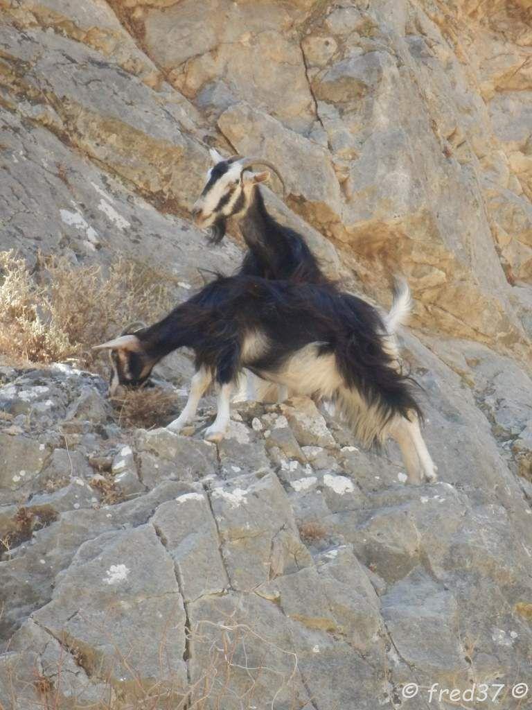 les chèvres sauvages crétoises appelées en Crête Krikri