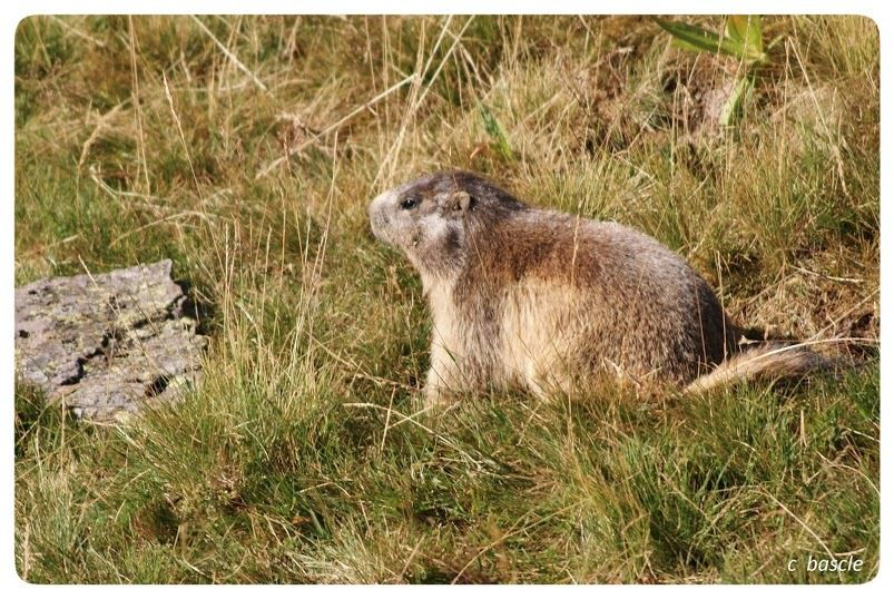 Les Sancy : Super-Besse, les marmottes du puy de Chambourguet
