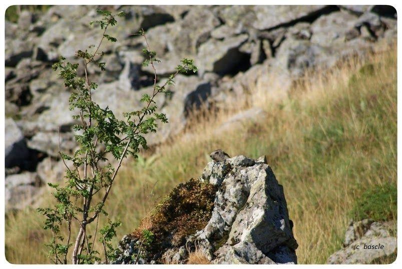 Les marmottes.