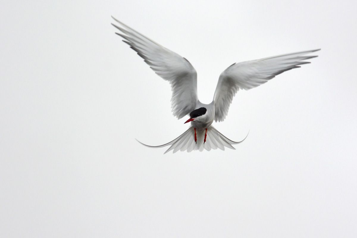 Ornithologie islandaise juin 2014