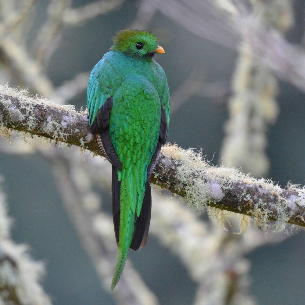Quetzal - San Gerardo de Dota