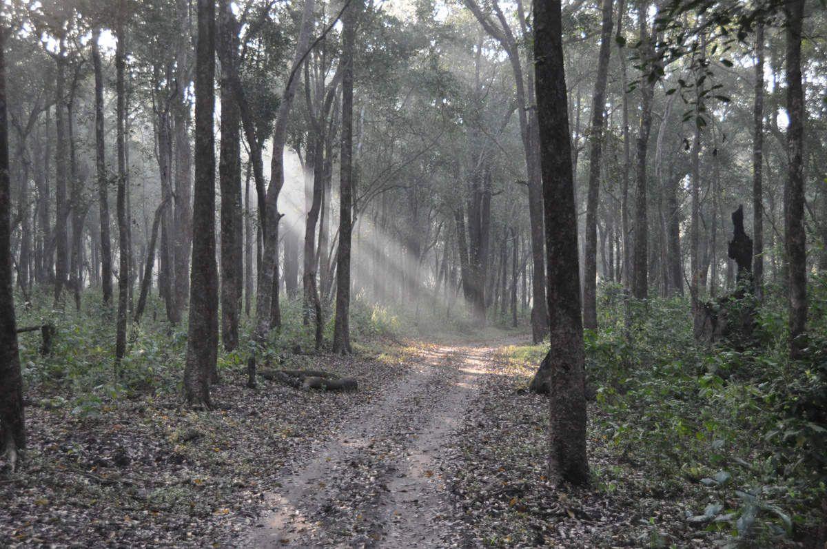Tigre - Parc national de Corbett