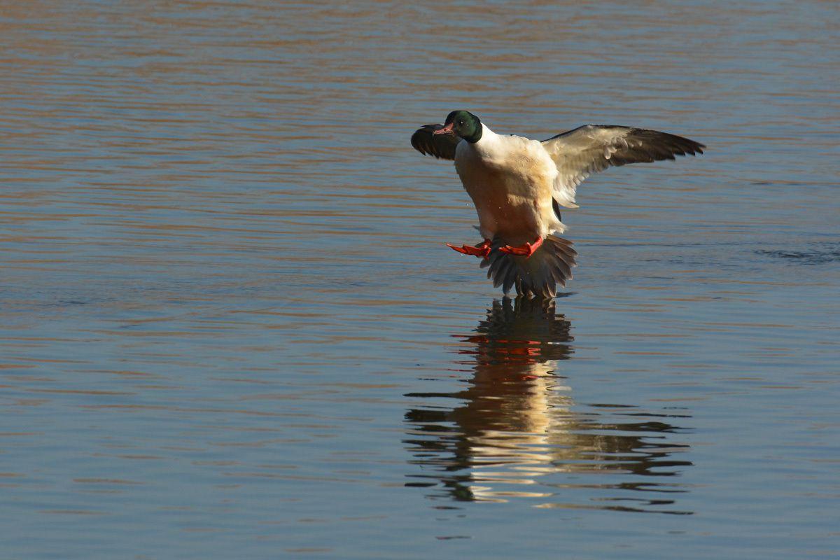 ornithologie lac du Bourget