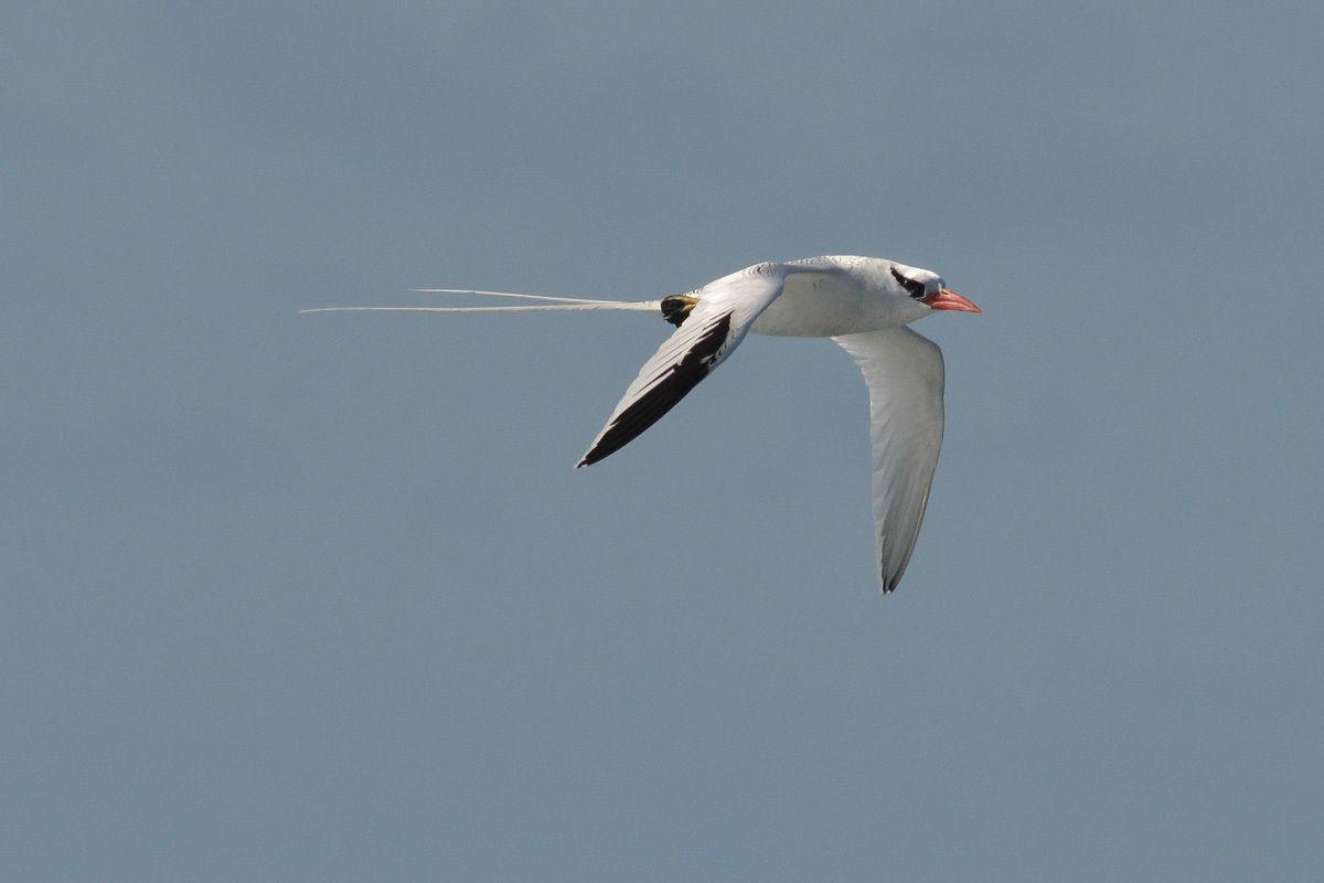 bel oiseau presentant deux plumes trés fines allongées vers l'arriere et un bec rouge corail