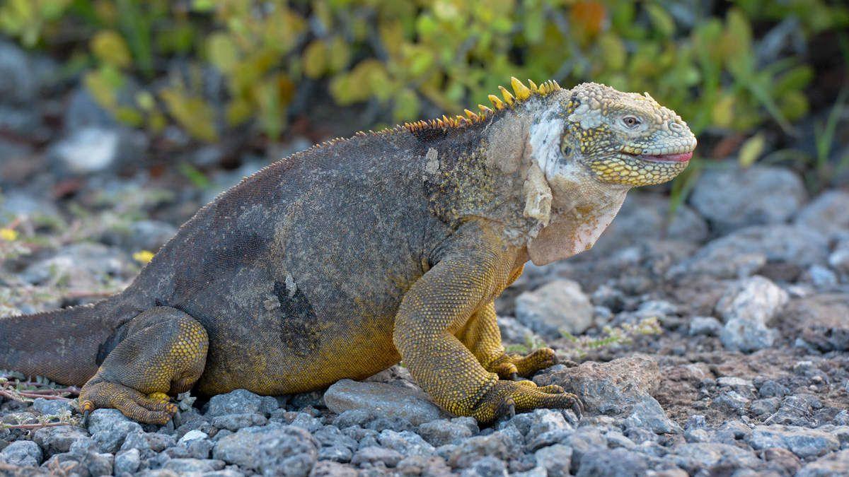 Iguanes terrestres