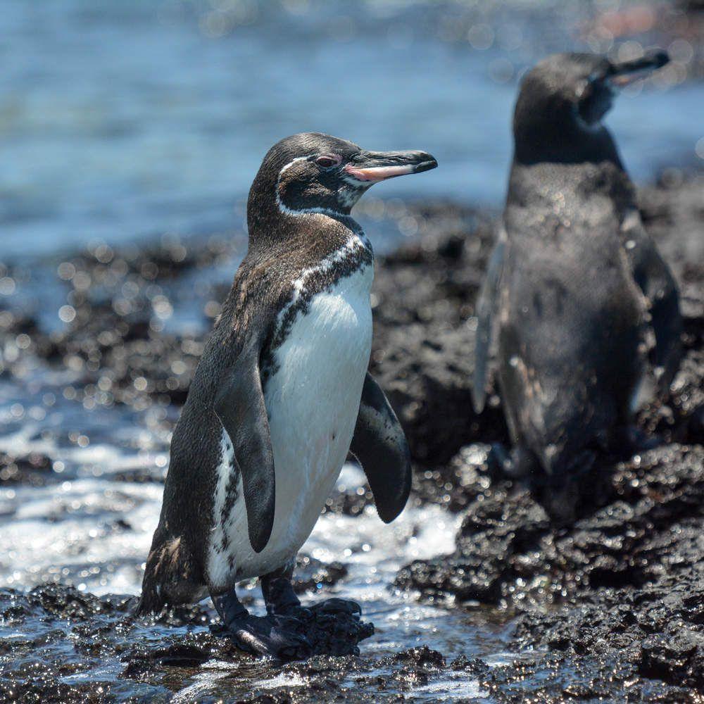 Le manchot des Galapagos