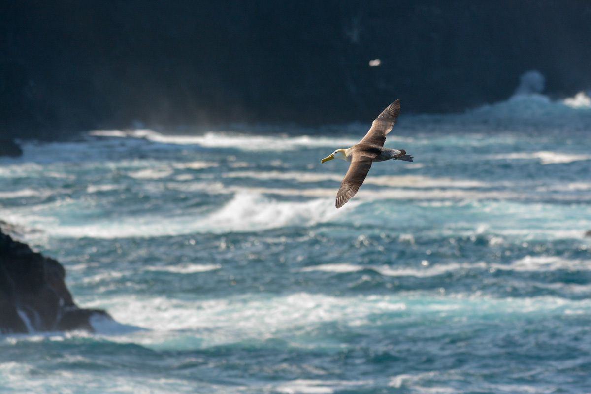 L'albatros des Galapagos