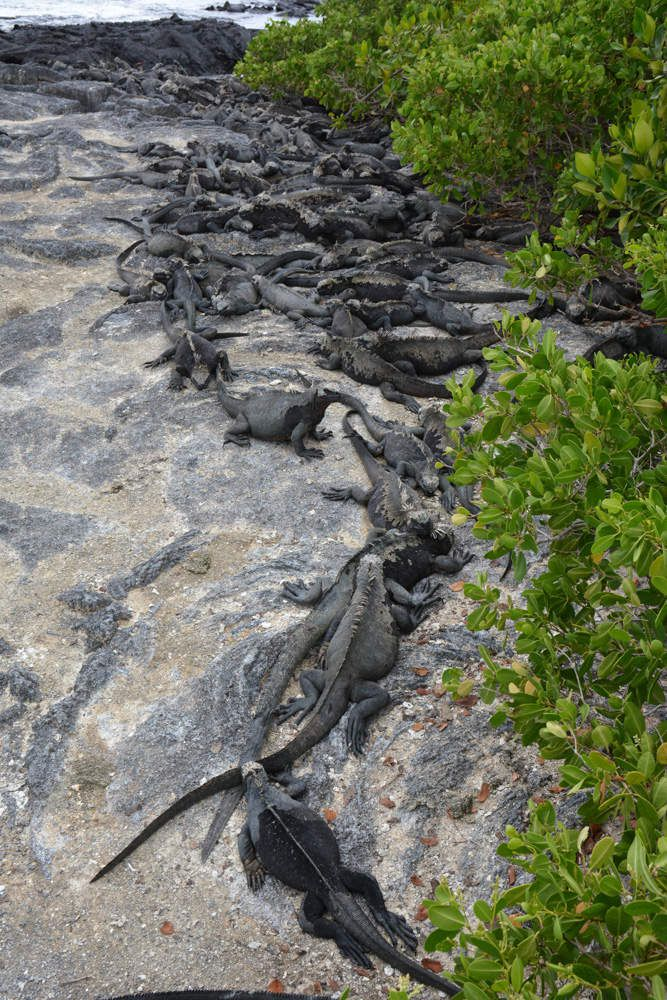Les iguanes marins