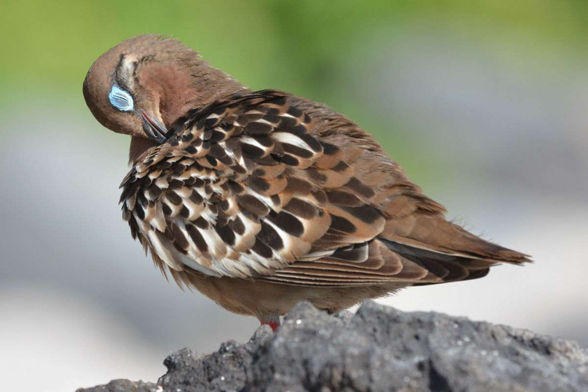 Autres oiseaux des Galapagos