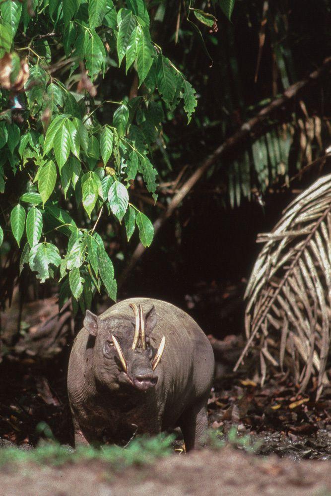 BABIROUSSA- Sulawesi